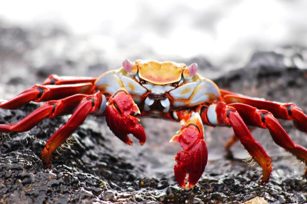 The Galapagos crab