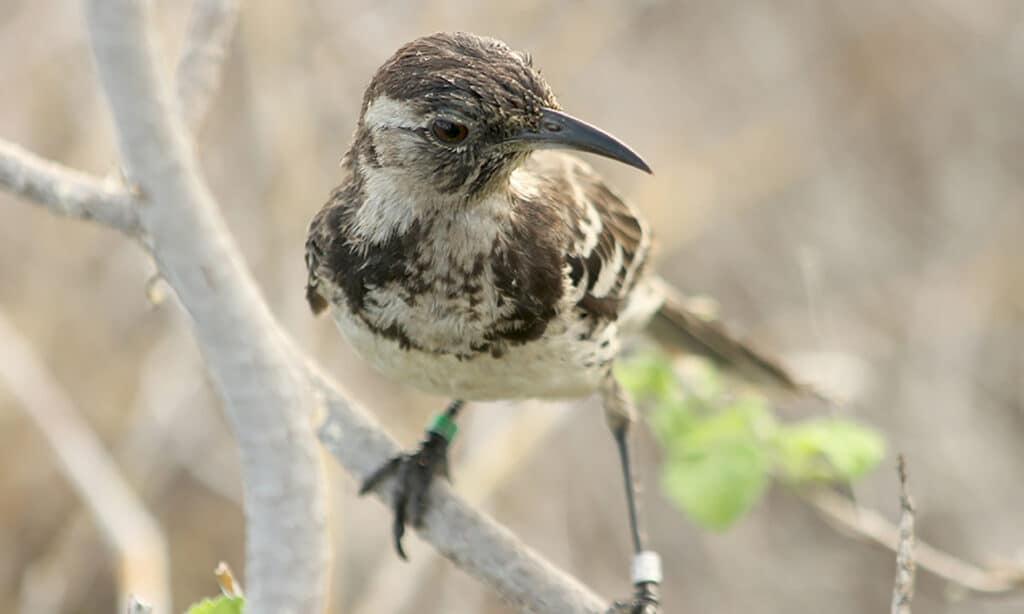 The Floreana mockingbird